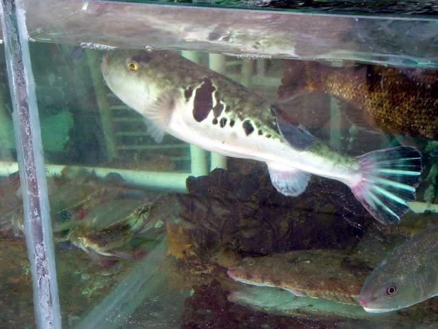 海洋岛和庄河县的王宗岛等海域历史上都有专门的河豚延绳钓渔业,主要